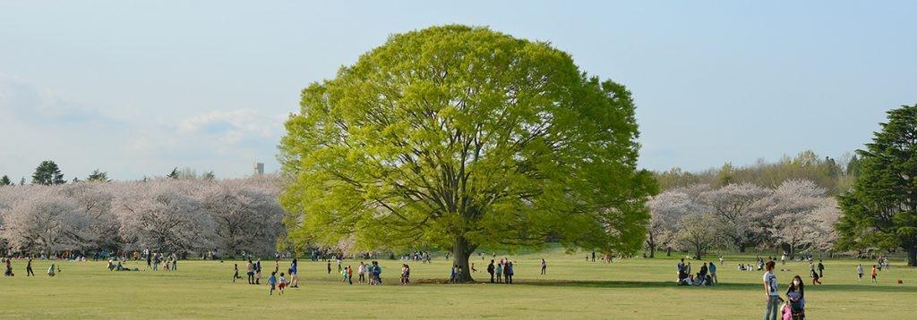 Showa Park - популярное место для того, чтобы насладиться цветами сакуры ранней весной в Токио