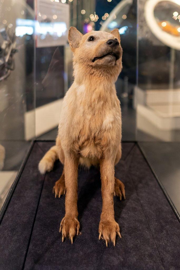 Белка, собака, космонавт, музей космонавтики
