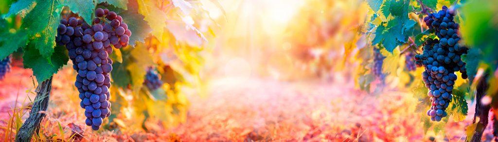 осень, виноград, лоза
