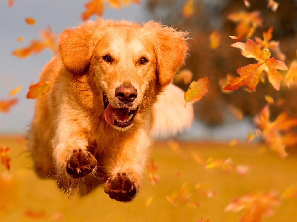 осень, собака, листья, счастье