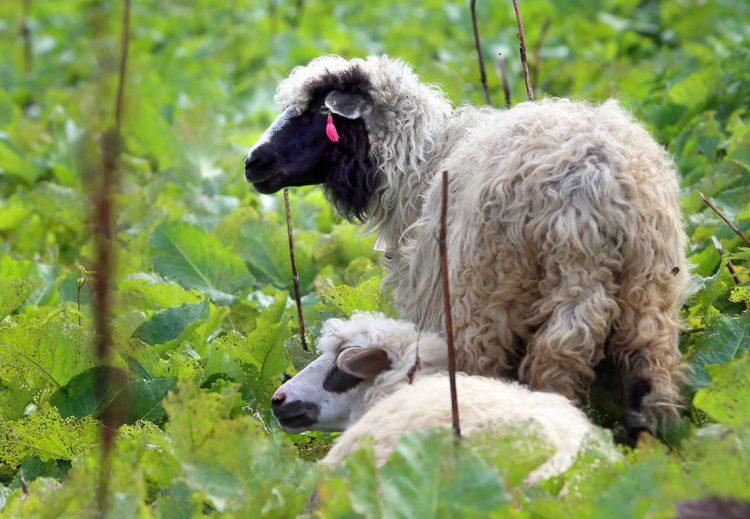 овцы овечки полонина
