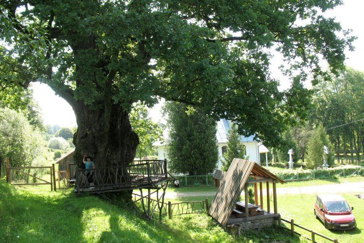 Стужица, старейшее дерево Украины