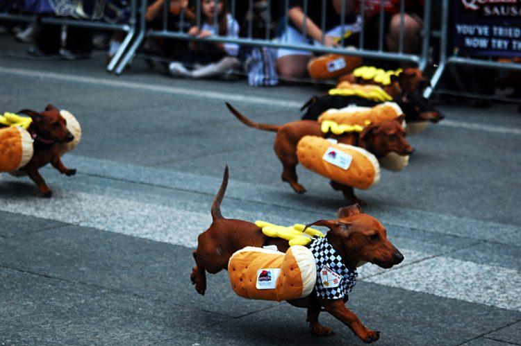 собаки таксы октоберфест штат огайо цинциннати