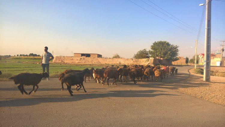 Иран, скот, животные