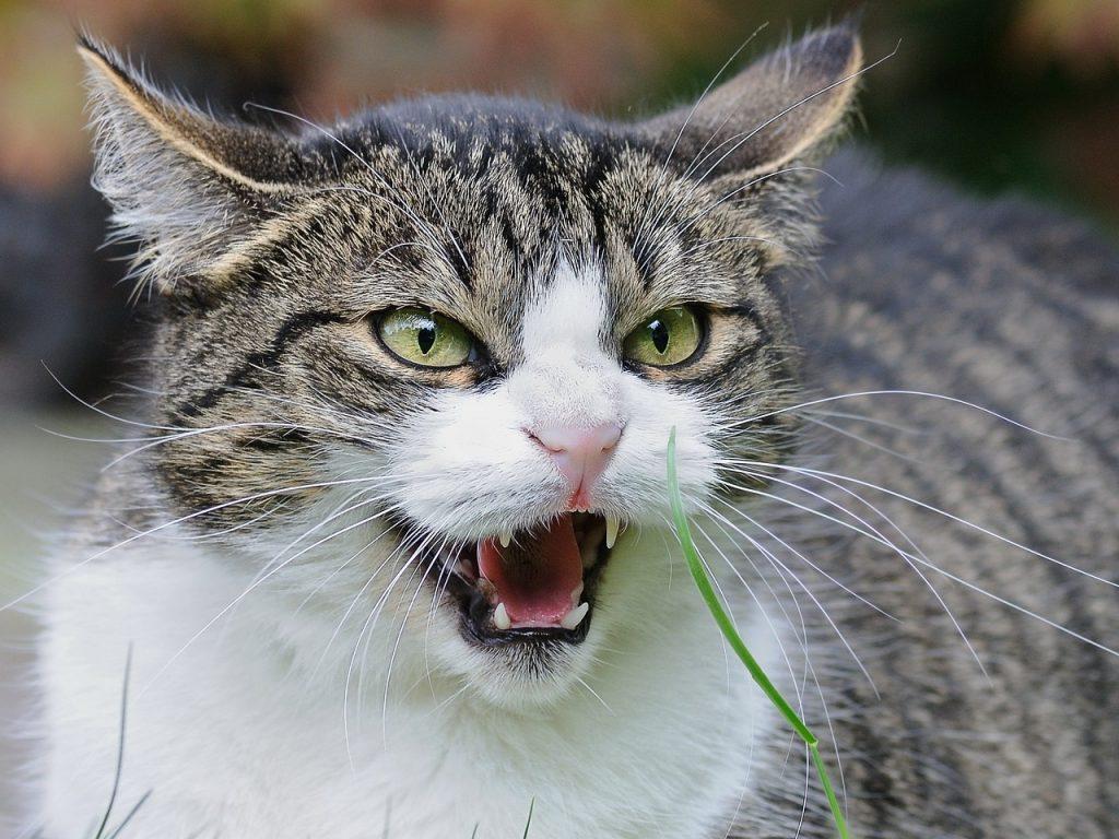 Злой кот, кот, кошка, ссора