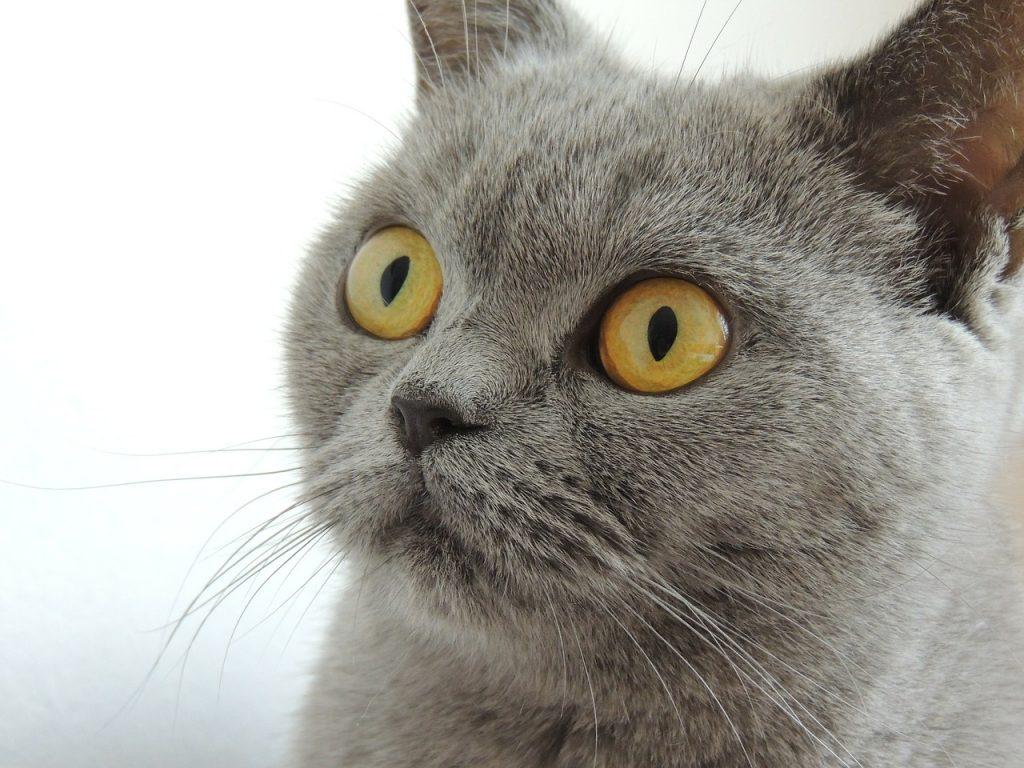 Домашний кот, кошка, серый кот
