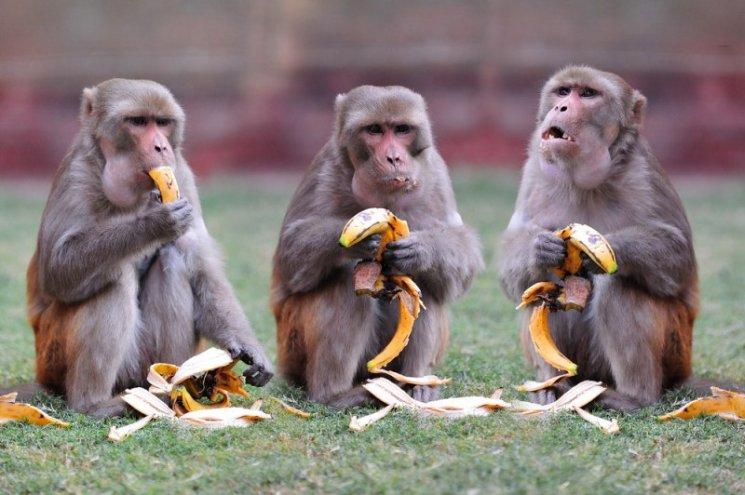 фишки дня, Международный день обезьян