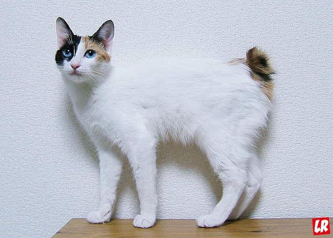 кошка, японский бобтейл, фишки дня, день кошки