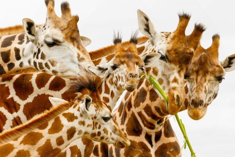 Ротшильд, жираф Ротшильда