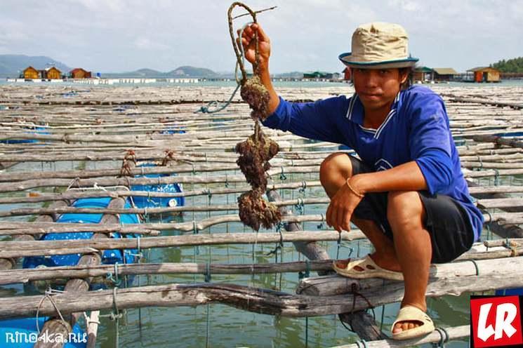 фишки дня - 31 марта, день моллюска, жемчужные фермы