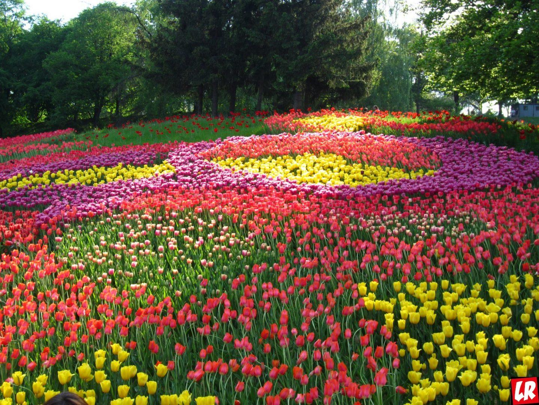 Выставка тюльпанов в Киеве – вход сделали бесплатным!