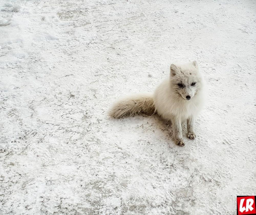 Арктика, покорение горы Ньютон, песец