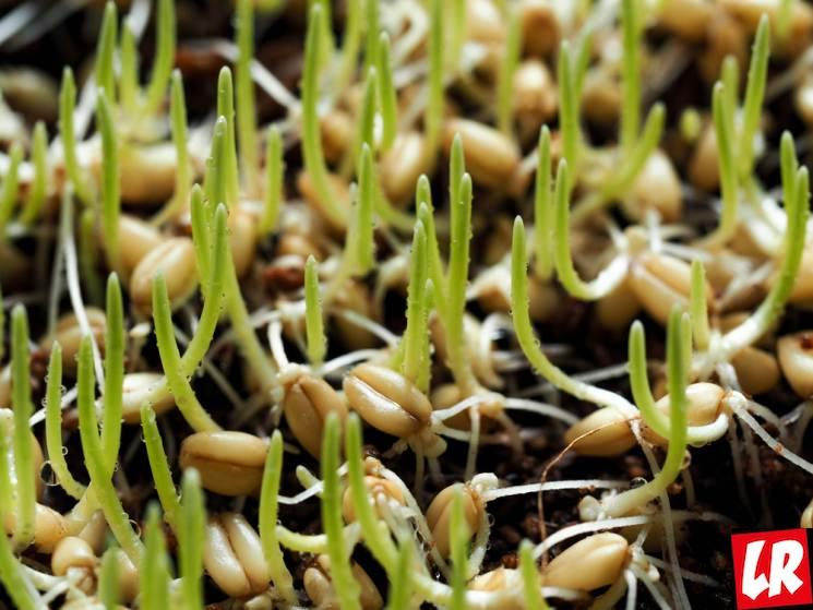 ростки пшеницы