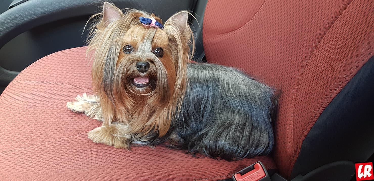 модные собаки, йоркширский терьер