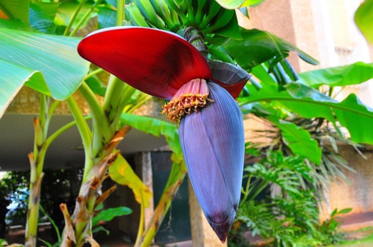 фишки дня - 27 августа, День любителей бананов США, цветок банана