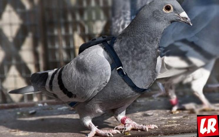 фишки дня - 4 августа, День почтовых голубей