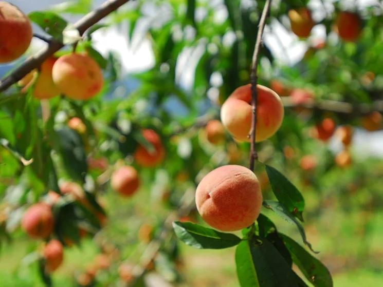 фишки дня - 22 августа, день персиков США