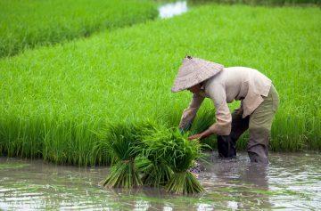 фишки дня, рисовое поле, день риса