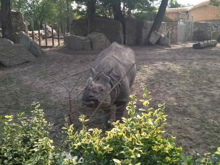 носорог, зоопарк Вроцлав
