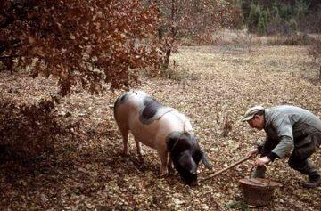 фишки дня, охота на трюфели