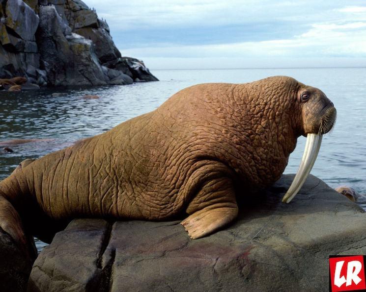 фишки дня - 24 ноября, День моржа