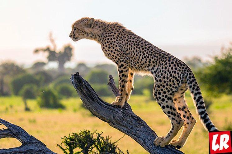 фишки дня - 4 декабря, день гепарда, факты о гепардах