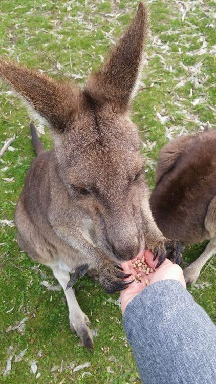 Украинцы в Австралии, кенгуру