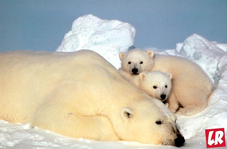 фишки дня - 27 февраля, день белого медведя