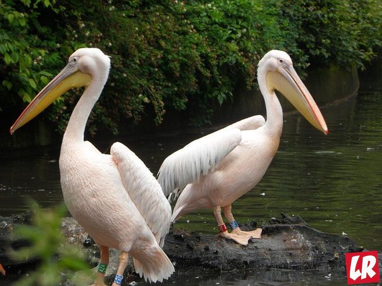 фишки дня - 1 апреля, всемирный день птиц, розовый пеликан