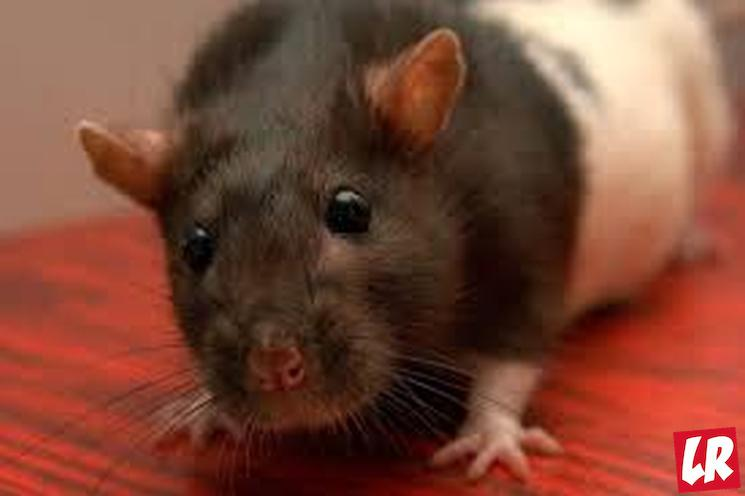 фишки дня - 4 апреля, День крысы