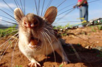 фишки дня, день крысы
