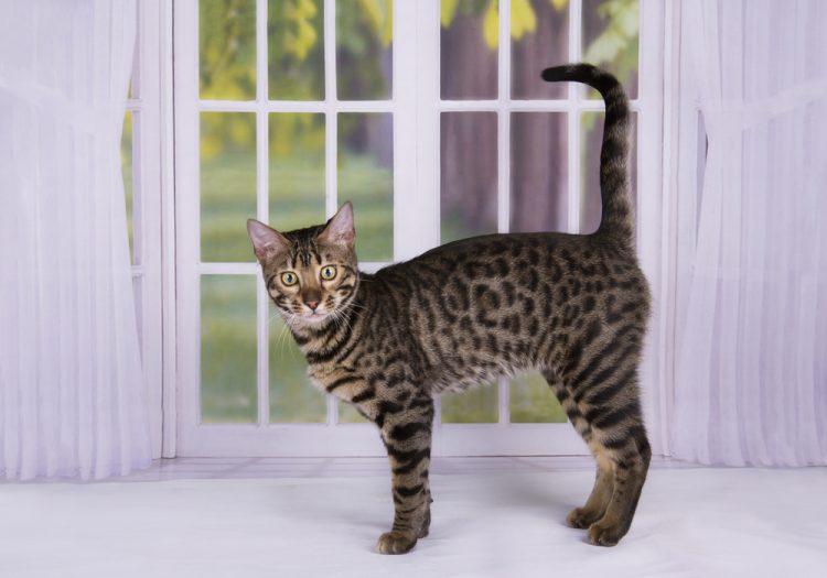 кошка, саванна, самая дорогая кошка