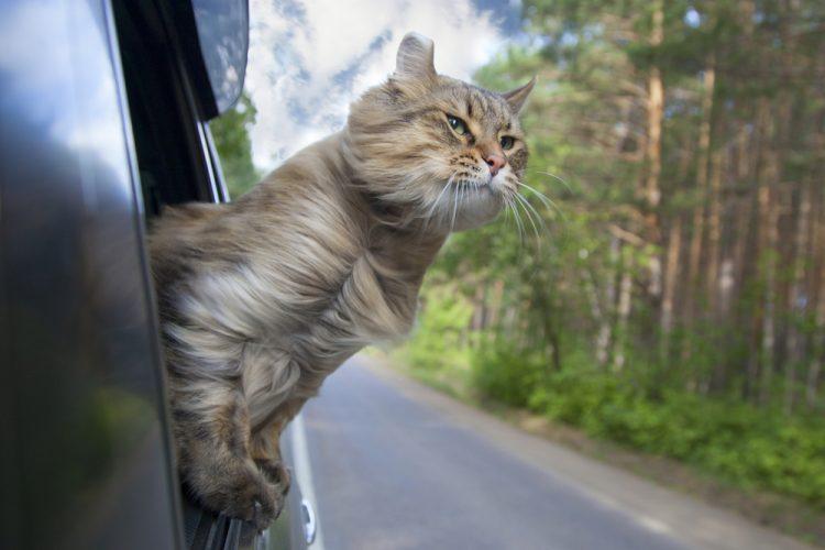кошка, автомобиль