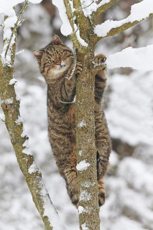 Европейский дикий кот