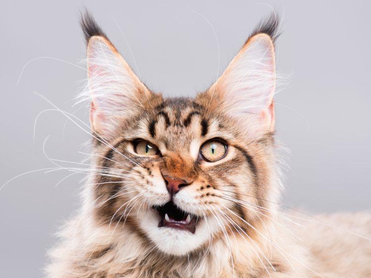 кошка, мейн кун