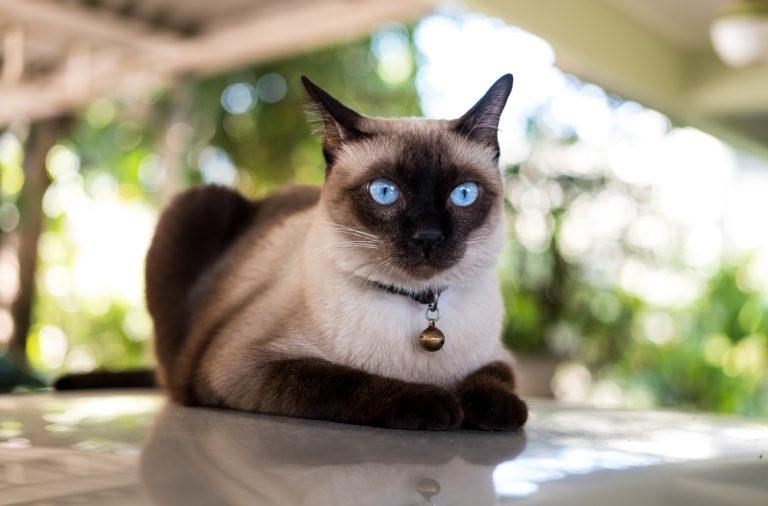 кошка, сиамская кошка, голубые глаза у кошки, кот