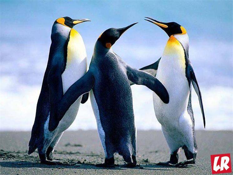 фишки дня - 25 апреля, день пингвинов, императорский пингвин