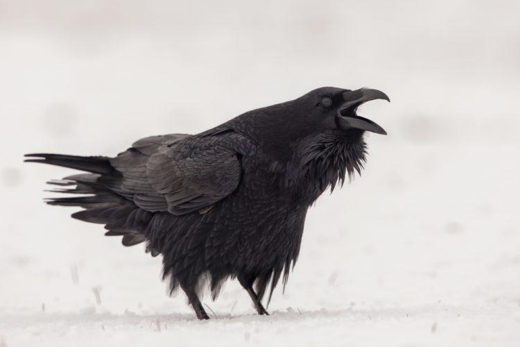 птицы, ворон