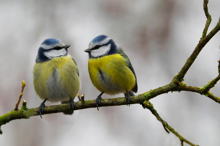 птицы, синица