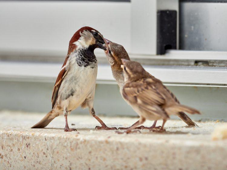 птицы, воробей, птенцы