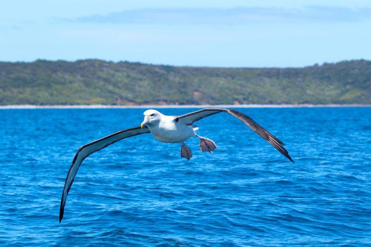 птицы, альбатрос