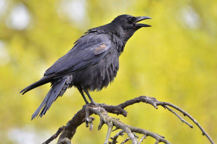 птицы, ворона