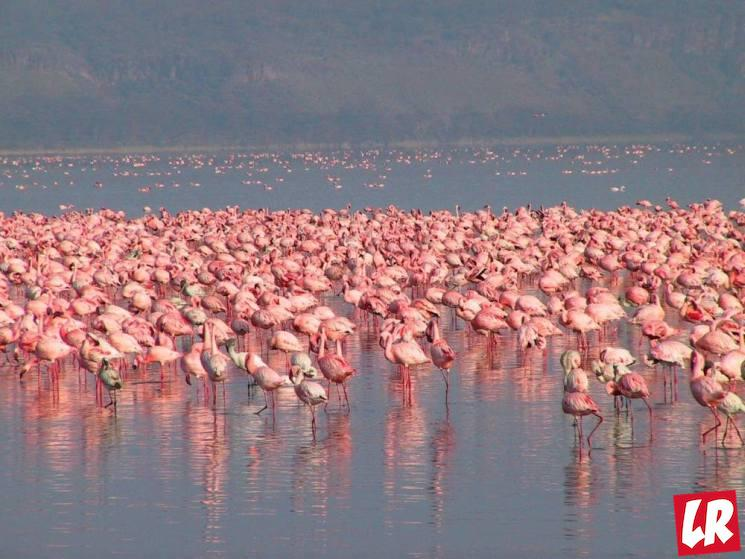фишки дня - 23 июня, день фламинго, озеро Накуру