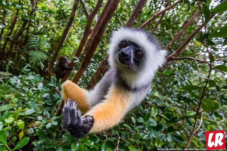фишки дня - 26 июня, лемур, день независимости Мадагаскара