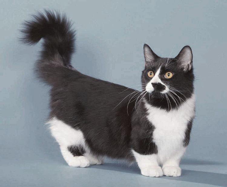 кот, порода манчкин