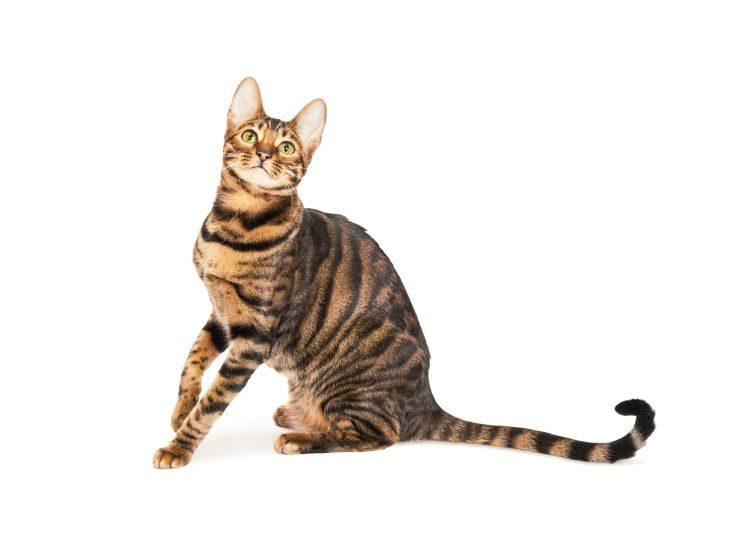 кот породы тойгер