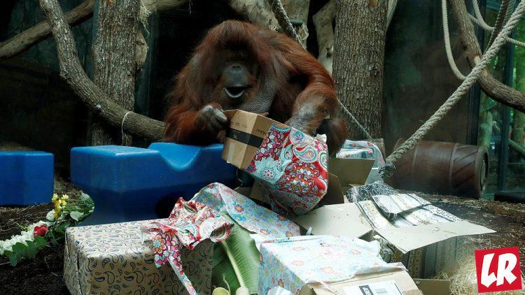 фишки дня - 19 августа, День орангутанга