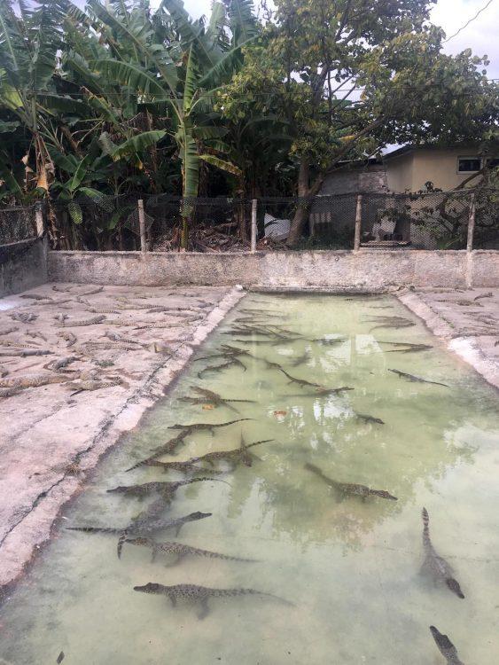 Куба, репортаж, остров несвободы, крокодилы