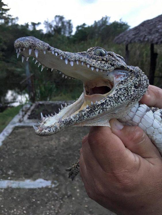 Куба, репортаж, остров несвободы, крокодил