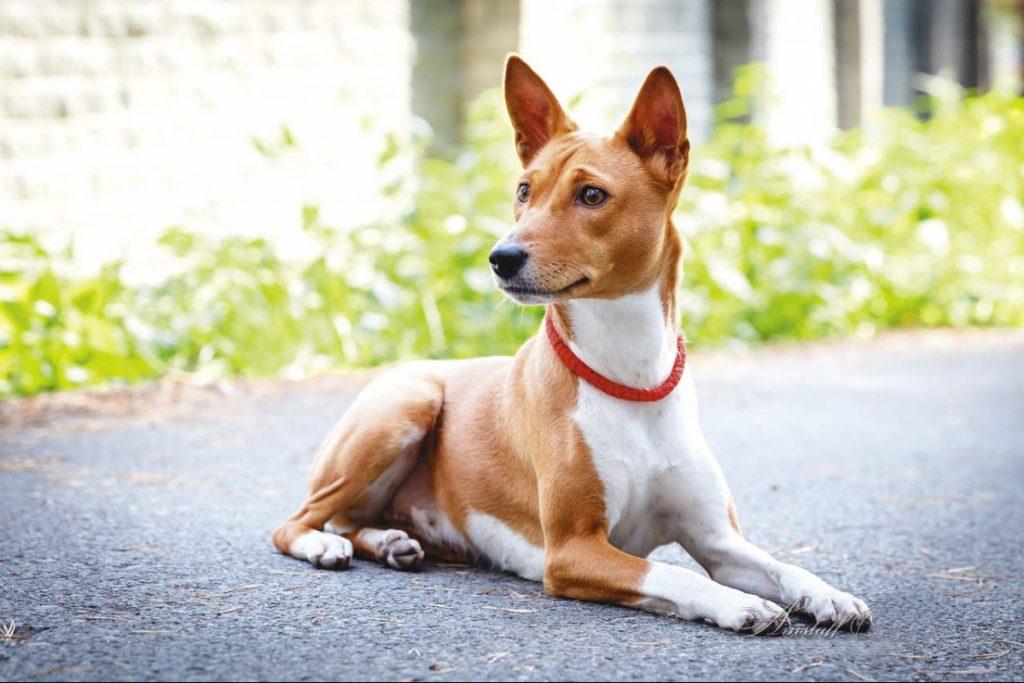 бассенджи, порода собак